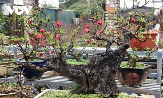 Sejenis Pohon Bunga Dao Untuk Disewa Tanpa Dijual