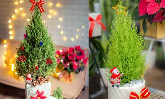 Hanoians keen to buy fresh pine trees as Christmas comes near
