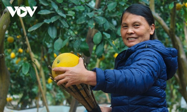Dien pomelo among most meaningful Tet gifts