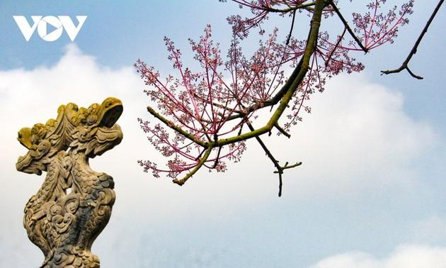"""Asyik Pandangi """"Bunga Pohon Parasol"""" (Ngo Dong)  Bermekaran di Benteng Hue"""