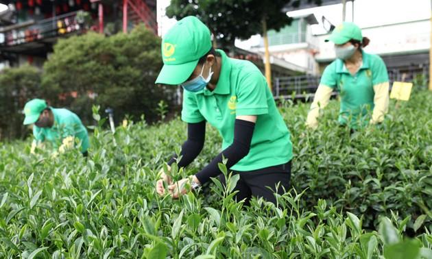 베트남, 대(對)대만 차(茶) 수출 선두 올라