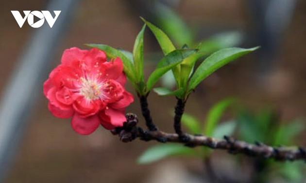 桃花种植者只想出租不想卖