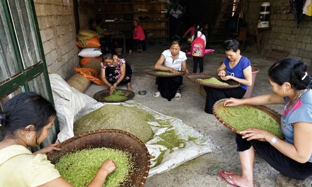 Aroma young glutinous rice of the northwest
