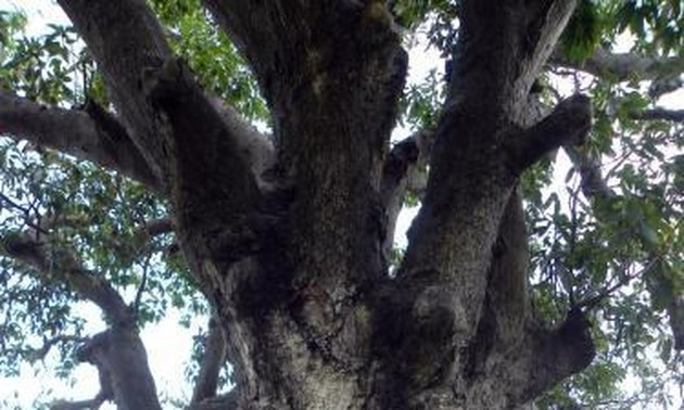 Ancient banyan in Binh Dinh named Heritage Tree