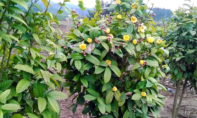 Camellia chrysantha secures stable income for Quang Ninh province's Dao ethnic people