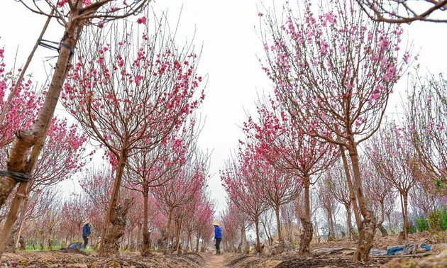 Flower villages in full swing ahead of Lunar New Year