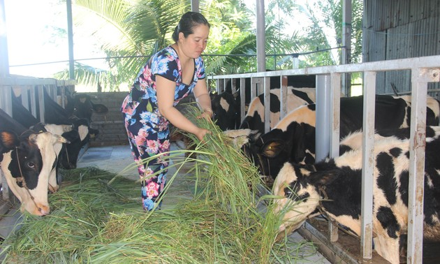 Dairy cow farming proves beneficial in Soc Trang province