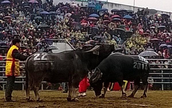 Coup d'envoi de la première fête de combat des buffle à Hanoi