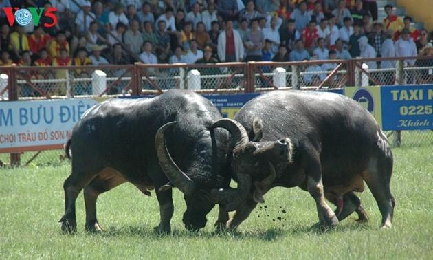 Les combats de buffles de Do Son