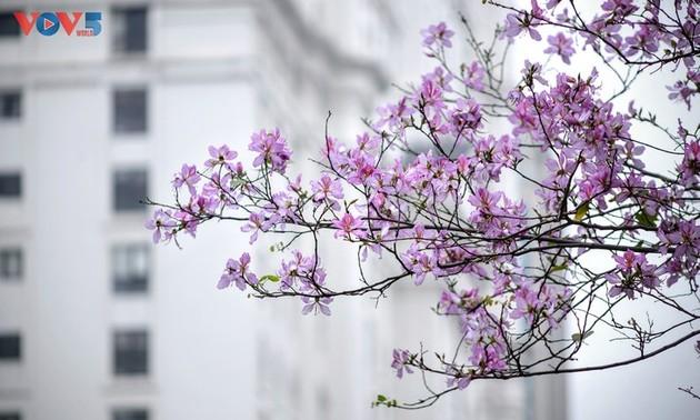La flor de bauhinia florece temprano en Hanói