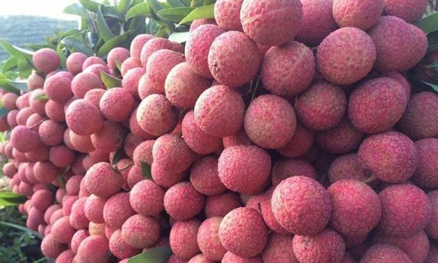 Lichi de Hai Duong se exporta por primera vez a Tailandia