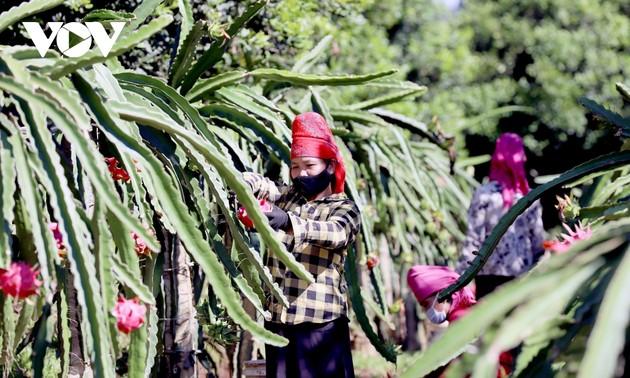 Provincia de Son La exporta 10 toneladas de pitahaya roja a Rusia