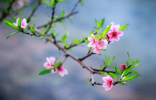 桃の花をテーマにした曲