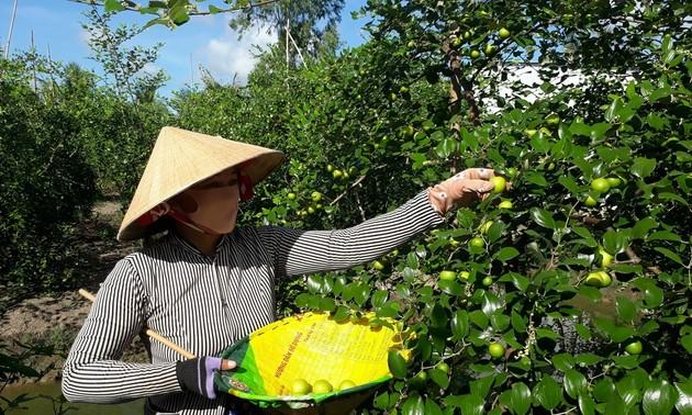 ナツメの豊作を迎えるソクチャン省の農民