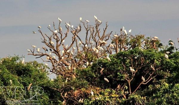 Pulau burung Bangau Chi Lang Nam-destinasi bagi para wisatawan