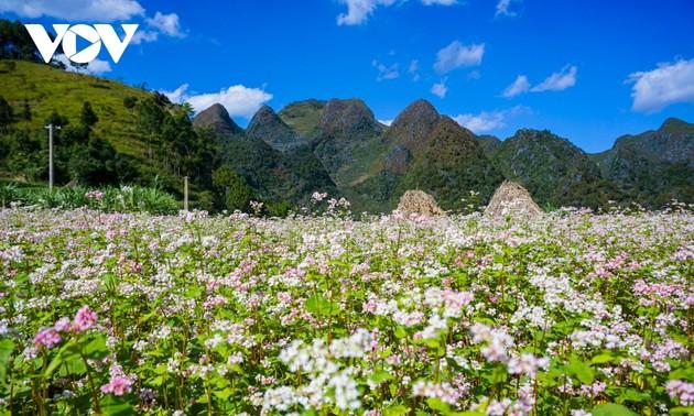 """Mùa thu lên Hà Giang """"hẹn hò"""" cùng hoa tam giác mạch"""
