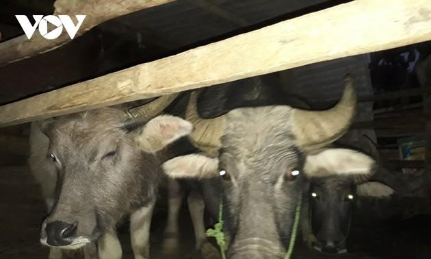 Sitte zur Verehrung der Seele des Wasserbüffels der Thai im Nordwesten