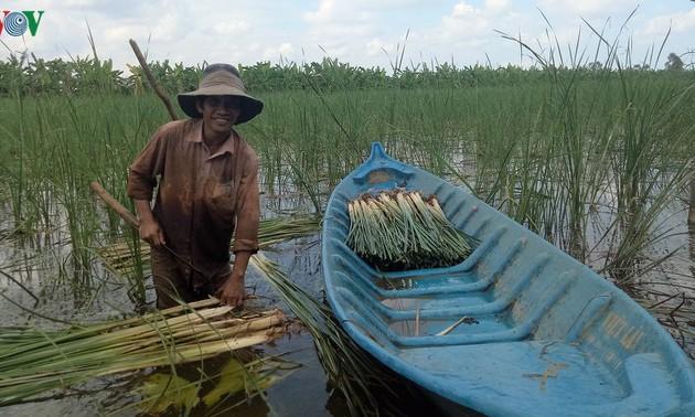 Para petani di daerah penyangga di Hutan U Minh Ha membudi-dayakan tanaman lembang untuk meningkatkan perekonomian