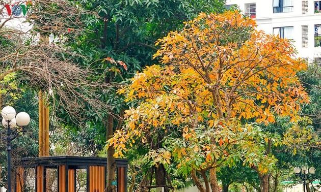 Красочный Ханой - листья деревьев меняют цвет