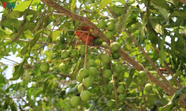 Kon Tum: Tiềm năng phát triển cây mắc ca