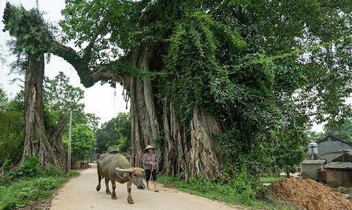Lý cây đa - Vũ Văn Hợi, Thái Lan