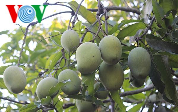 Kaum tani  propinsi Son La mengkonservasikan dan mengembangkan brand mangga bulat Yen Chau