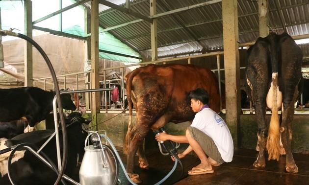 Эффективность разведения молочных коров в провинции Шокчанг