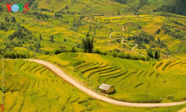 Amazing golden rice fields in northwestern Vietnam