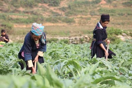 Nông dân Sa Pa làm giàu từ trồng cây dược liệu