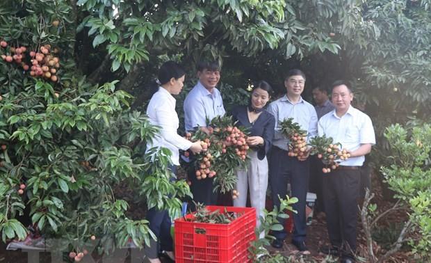 Hải Dương xuất khẩu lô vải thiều đầu tiên sang Nhật