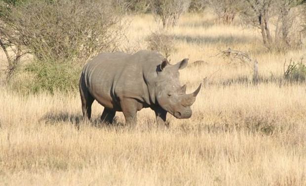 """Phim ngắn """"Mai sau con lớn"""" mang thông điệp chấm dứt nạn săn bắt tê giác"""