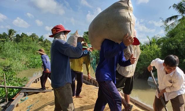 В Дельте реки Меконг получили хороший зимне-весенний урожай риса