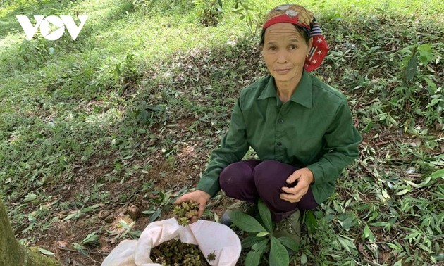 Убора урожая аниса вместе с жителями провинции Лангшон