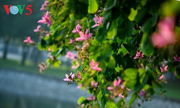Красота ханойской баухинии