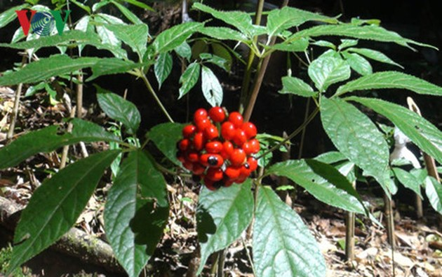 Ginseng farming brings Xo Dang ethnic people better life