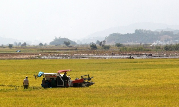 拉克县水稻的丰收季