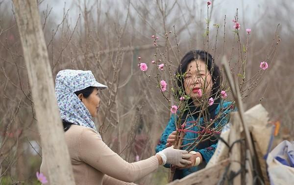 Der Anbau von Pfirsichbäumen und Kumquatbäumen läuft auf Hochtouren vor dem Neujahrsfest