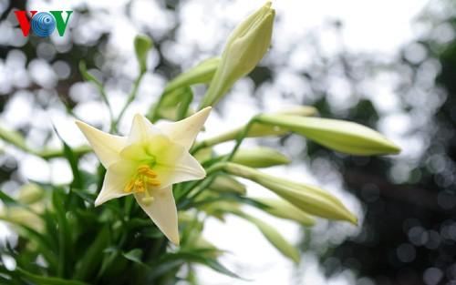 Лилия белая в цветочной деревне Тэйтыу