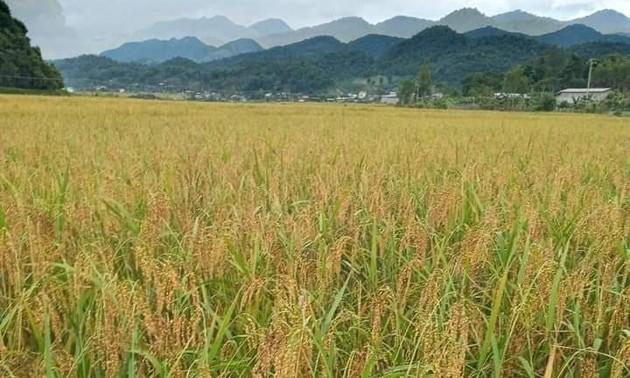 Le riz gluant de Muong Và