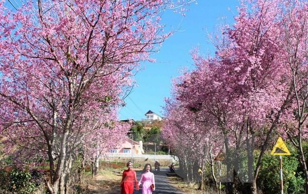 Quảng Ninh: Khai mạc Lễ hội hoa Anh đào Hạ Long 2015