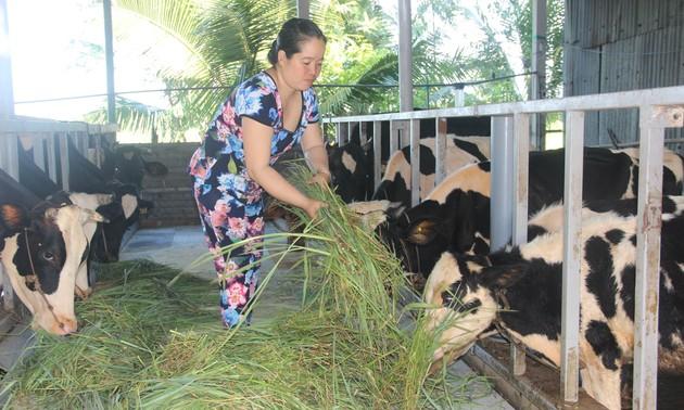 Hiệu quả của nghề chăn nuôi bò sữa ở Sóc Trăng