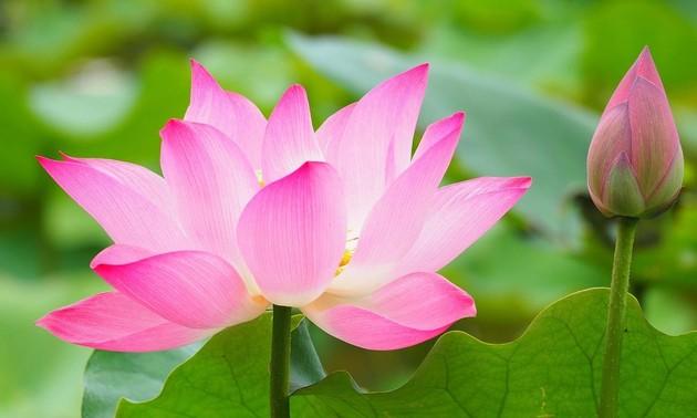 เสน่ห์ความงามของดอกบัว
