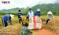 Tuổi trẻ Mường Lay, Điện Biên giúp bà con đang cách ly tập trung thu hoạch lúa chín rộ