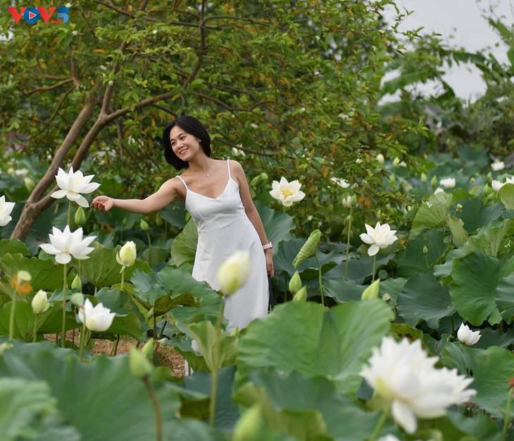 Đầm sen trắng tinh khôi ở Hà Nội  - ảnh 11