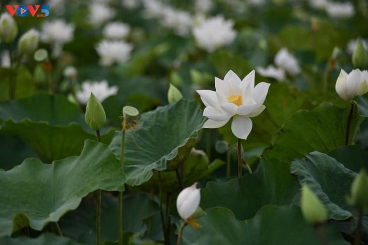 Đầm sen trắng tinh khôi ở Hà Nội  - ảnh 2