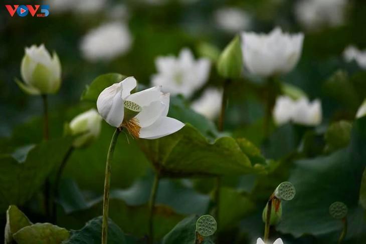 Đầm sen trắng tinh khôi ở Hà Nội  - ảnh 3