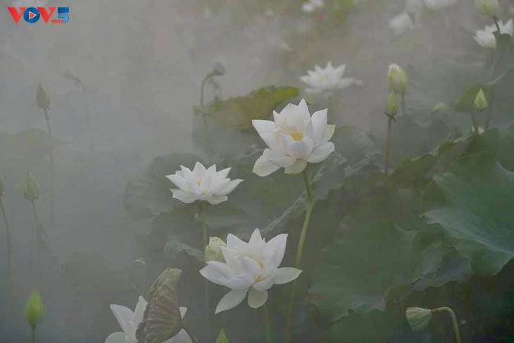 Đầm sen trắng tinh khôi ở Hà Nội  - ảnh 5