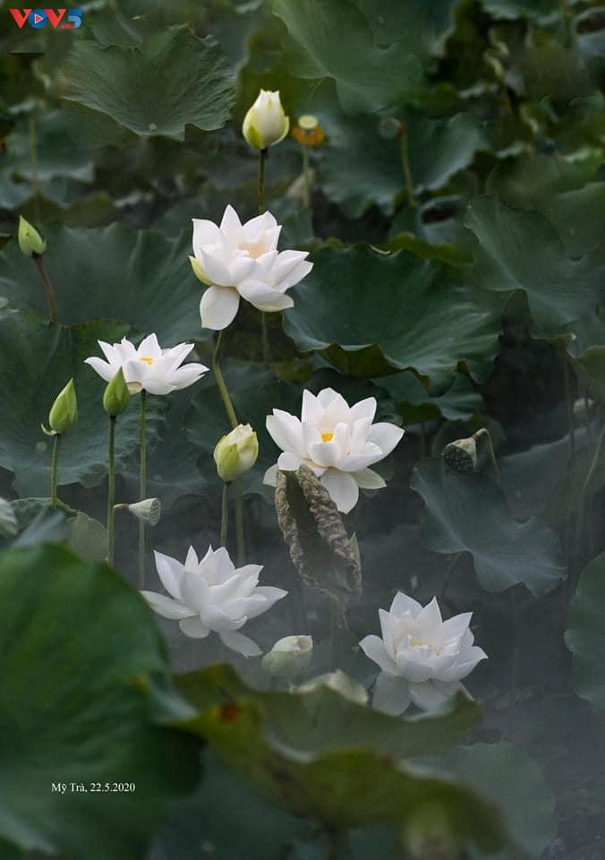 Đầm sen trắng tinh khôi ở Hà Nội  - ảnh 6
