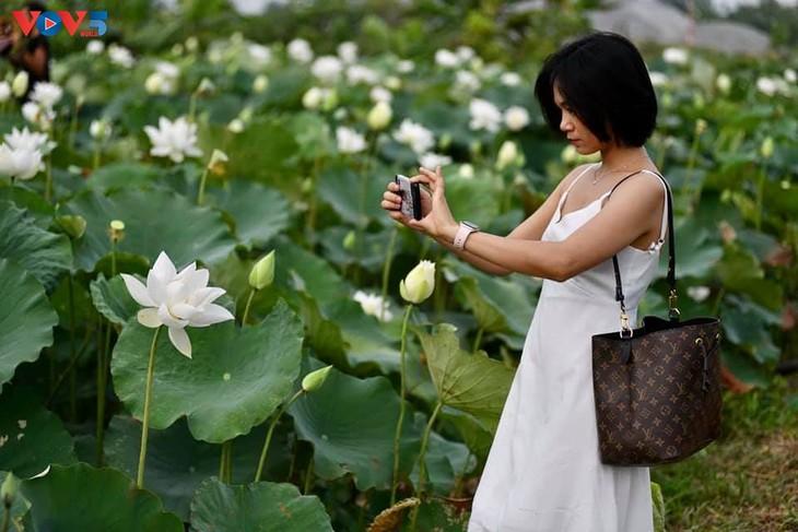 Đầm sen trắng tinh khôi ở Hà Nội  - ảnh 7