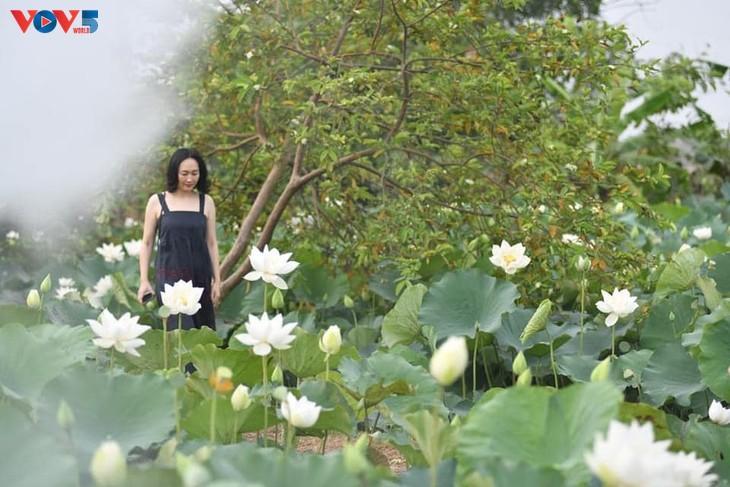 Đầm sen trắng tinh khôi ở Hà Nội  - ảnh 8